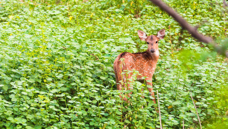 Amazing spotted deer royalty free stock images