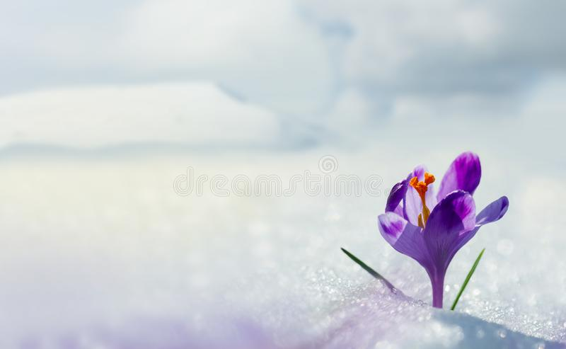 Amazing spring flower crocus in mountains in snow. View of magic blooming spring flowers crocus growing in mountains. Big panoramic photo of majestic spring stock image