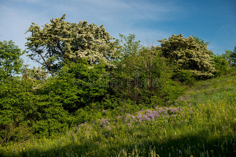 Amazing spring landscape and a flowering hawthorn tree stock photo