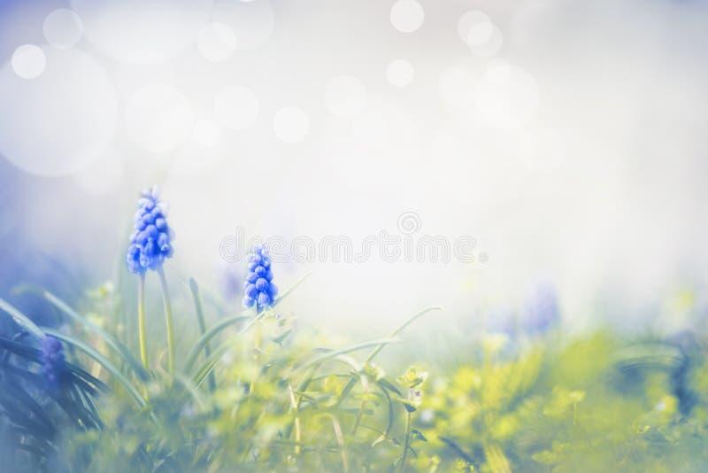 Amazing spring nature with wild grape hyacinths. Springtime background stock image