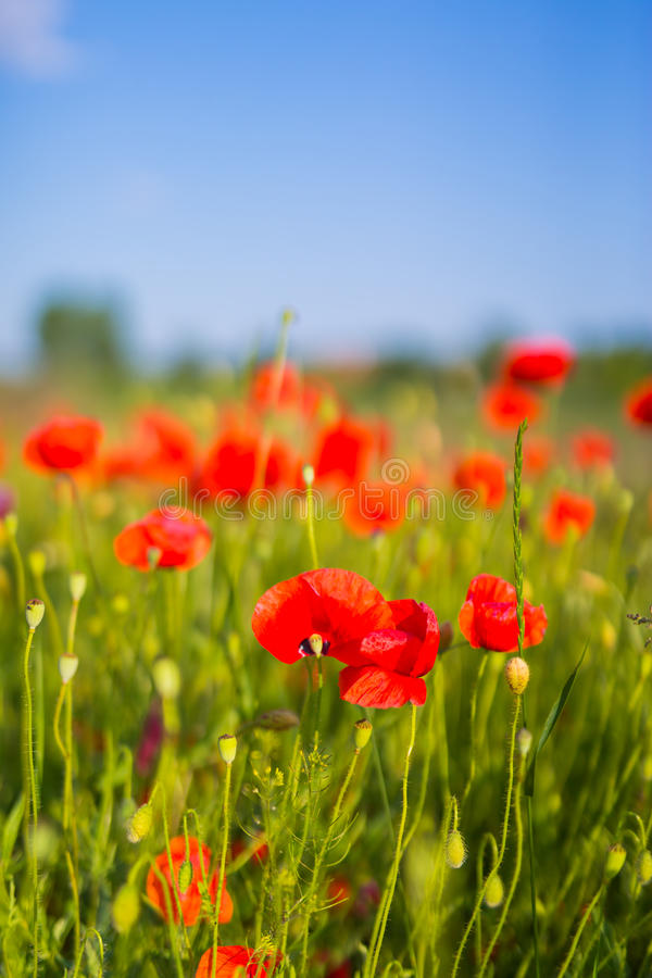 Amazing spring poppy field landscape against colorful sky and light clouds royalty free stock image