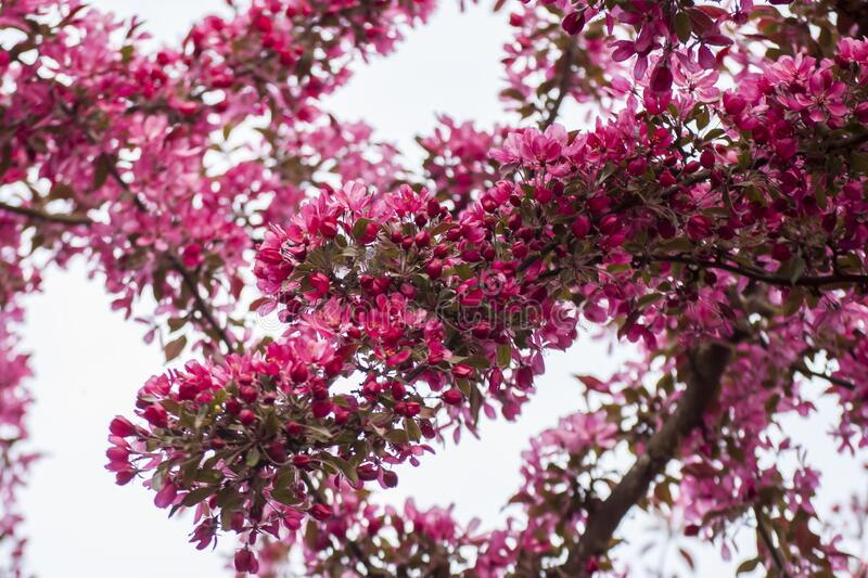 Amazing springtime in garden with closeup of blossoms of Siberian crab apple tree branches. Early springtime in Latvia with beautiful closeup of pink Siberian royalty free stock photo