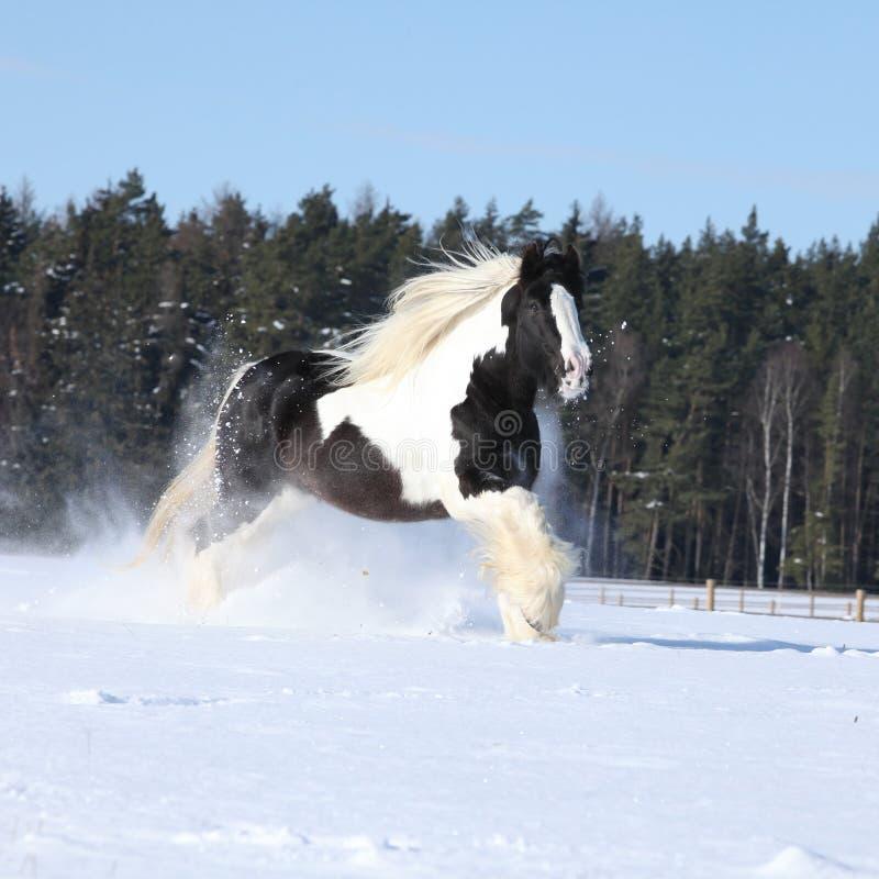 Amazing stallion of irish cob running in winter. Amazing stallion of irish cob running alone in winter royalty free stock photos
