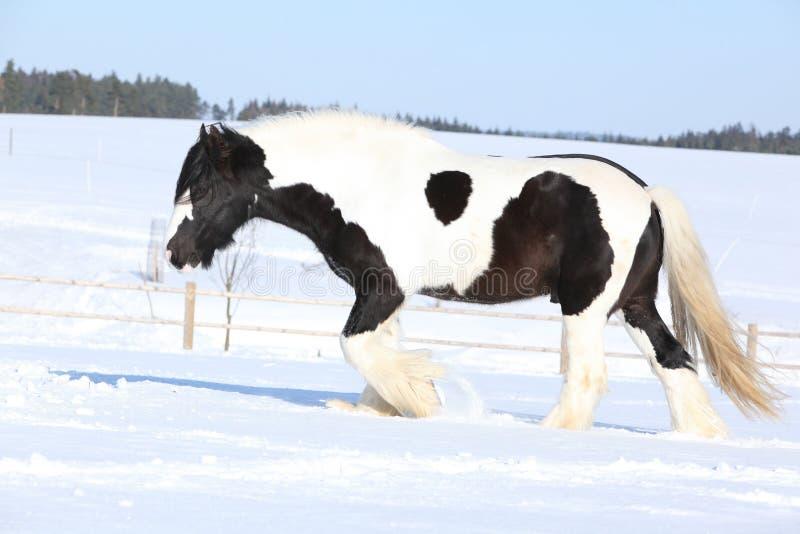 Amazing stallion of irish cob running in winter. Amazing stallion of irish cob running alone in winter royalty free stock image