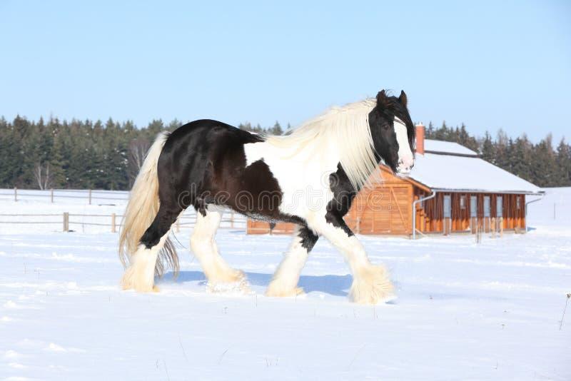 Amazing stallion of irish cob running in winter. Amazing stallion of irish cob running alone in winter royalty free stock photo