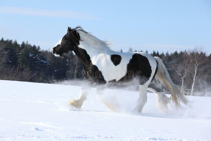 Amazing stallion of irish cob running in winter. Amazing stallion of irish cob running alone in winter stock photography