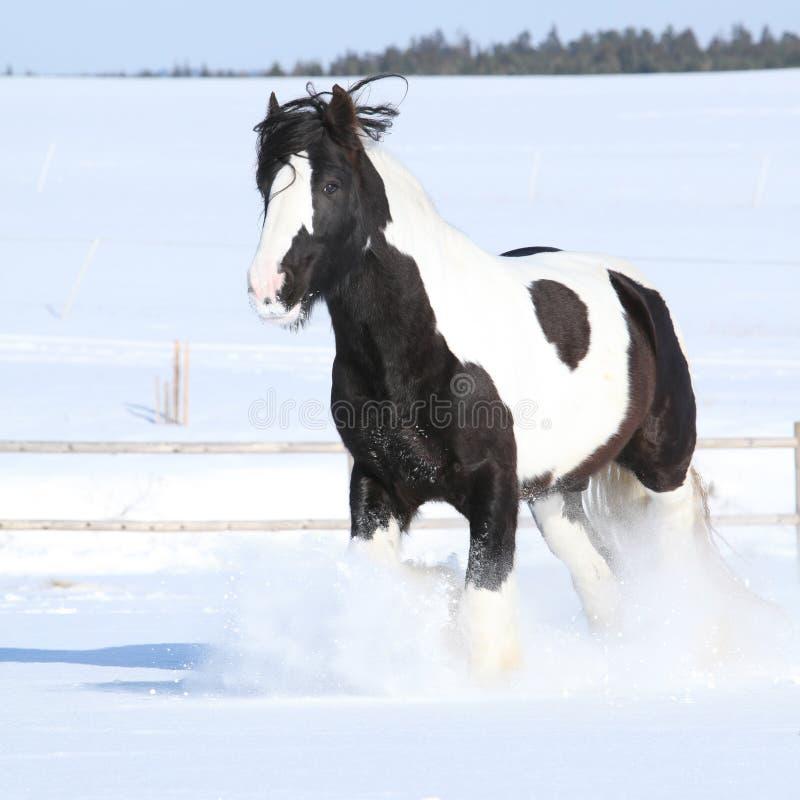 Amazing stallion of irish cob running in winter. Amazing stallion of irish cob running alone in winter royalty free stock photography