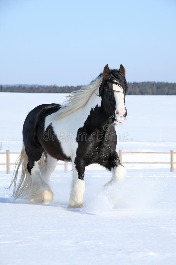 Amazing stallion of irish cob running in winter. Amazing stallion of irish cob running alone in winter stock photos