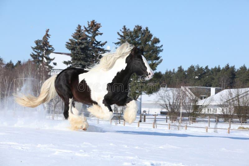Amazing stallion of irish cob running in winter. Amazing stallion of irish cob running alone in winter stock image