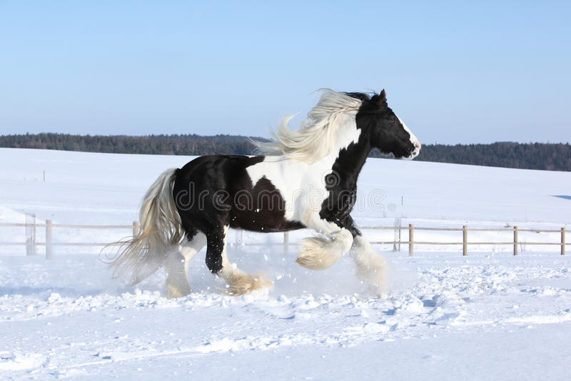 Amazing stallion of irish cob running in winter. Amazing stallion of irish cob running alone in winter stock images
