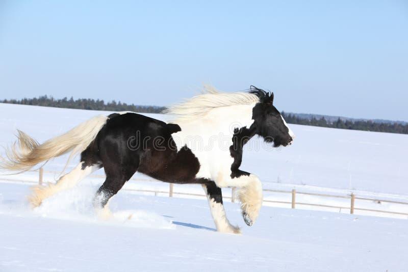 Amazing stallion of irish cob running in winter. Amazing stallion of irish cob running alone in winter stock photo