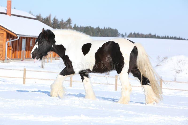 Amazing stallion of irish cob running in winter. Amazing stallion of irish cob running near stable in winter royalty free stock images