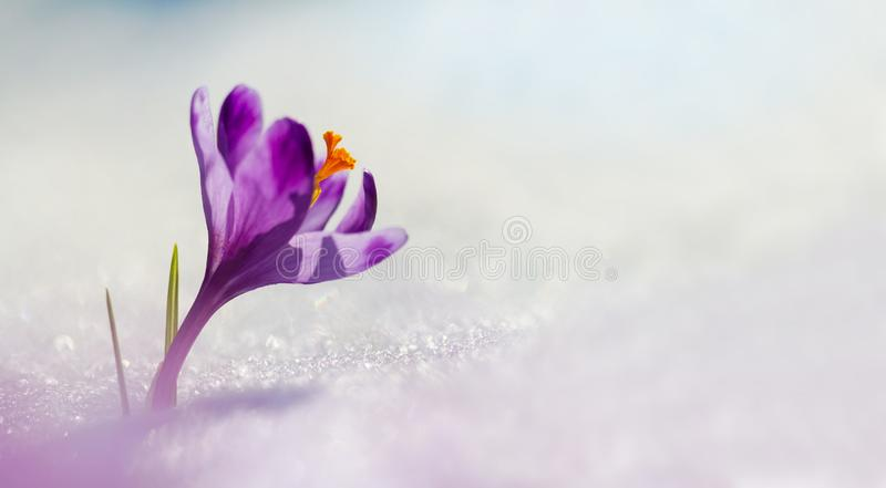 Amazing sunlight on spring flower crocus. View of magic bloomingBig panoramic photo of majestic spring flower crocus in snow royalty free stock photos