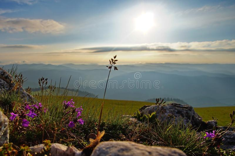 Sunrise in the mountains 3. Amazing sunrise with wild flowers in the Muntii Ciucului in Transylvania, Romania stock image