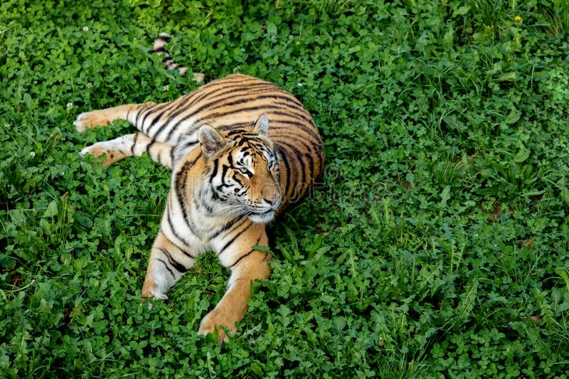 Amazing tiger. On the green meadow stock images