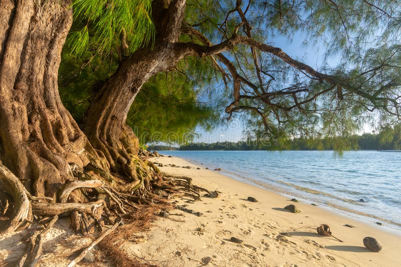 Amazing tree roots in an empty beach, Rarotonga, Cook Islands royalty free stock photography