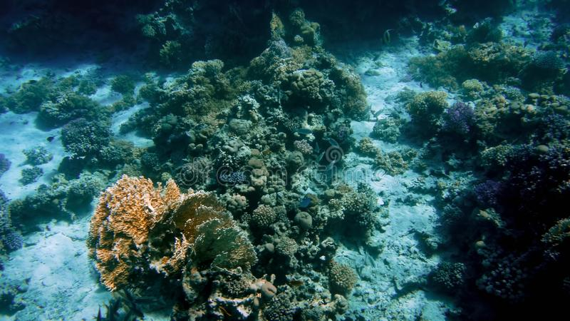 Amazing underwater image of Red sea bottom. Colorful coral fishes and growing reef under the water surface stock images