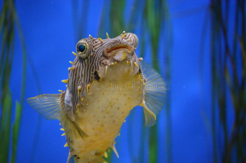 Amazing Up Close Look at a Striped Burrfish Face royalty free stock images