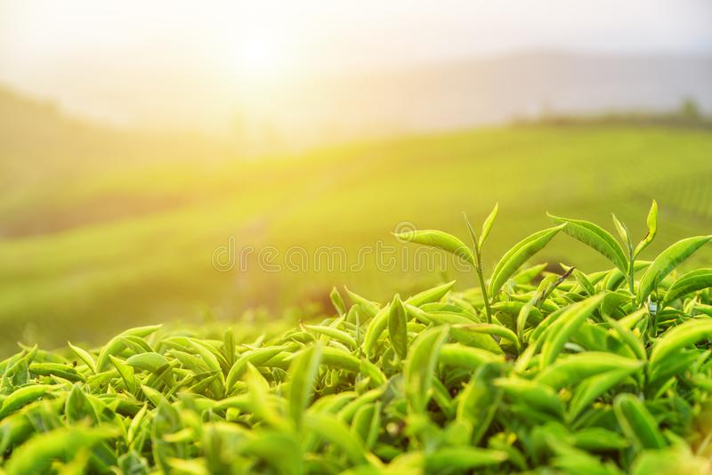 Amazing upper bright green tea leaves in rays of sunset stock photography