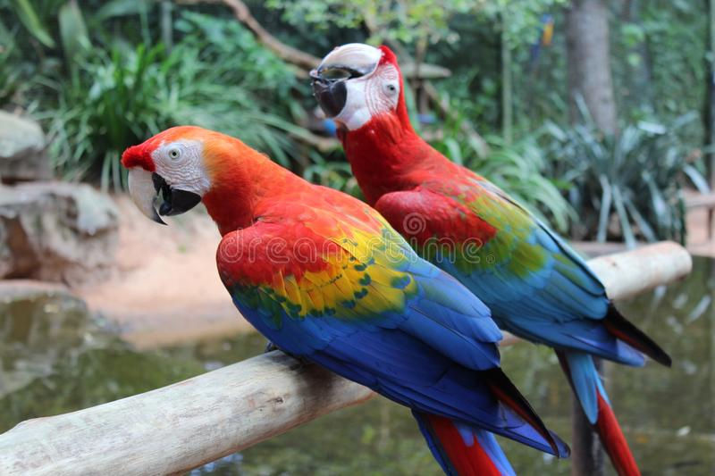 Macaw Birds with beautiful colors stock photo