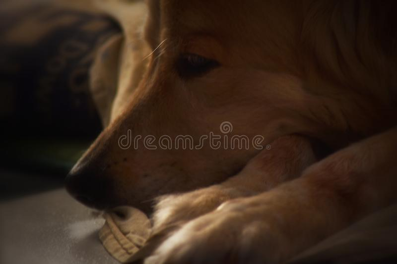An amazing view of a dogs perception. Of reality, she is resting on a warm sunset stock photo