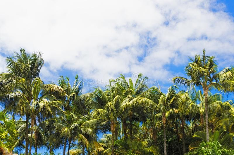 Amazing view of a forest of palm trees with a cloudy blue sky.  stock photos