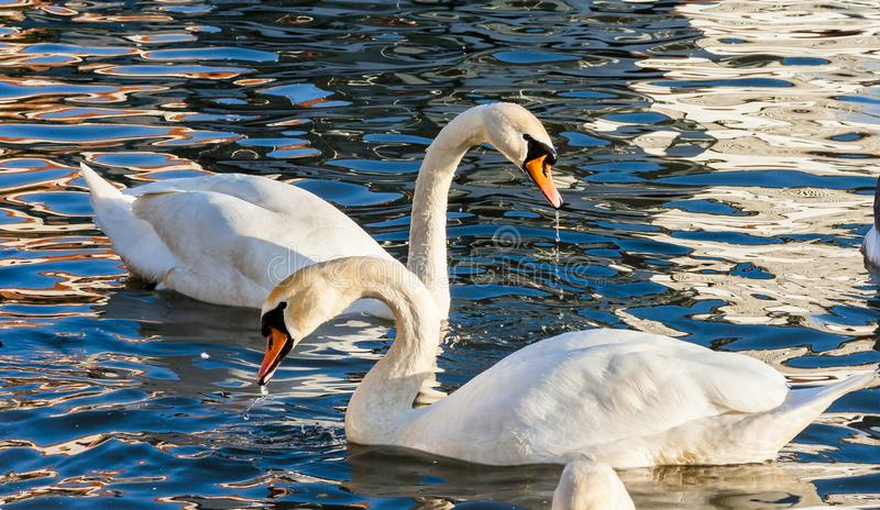 Amazing view, love swans. Two Swans Cygnus olor are swimming on the Vistula river in Krakow royalty free stock photography