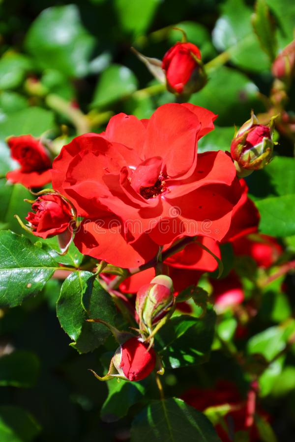 Amazing view of wild red roses taken close up on a sunny day with sun shining on the green leaves. The vertical nature photography royalty free stock image