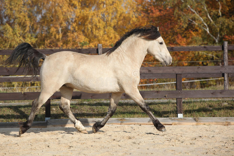 Amazing welsh cob running. Alone in autumn royalty free stock images