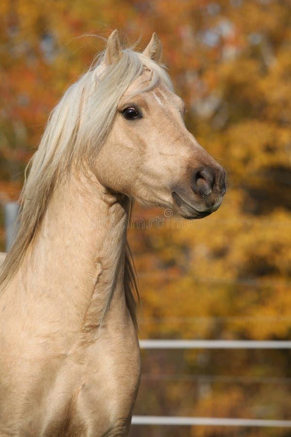 Amazing welsh pony of cob type stallion. In autumn stock photos