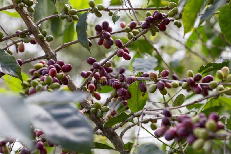 Amazing wild coffee stock images
