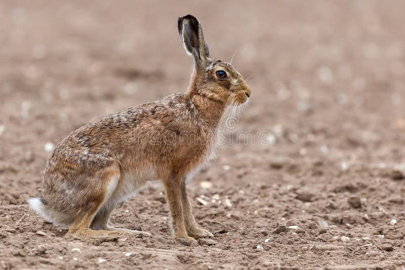 Amazing wild european hare close up sat in a arable field. Beautiful side view showing a large body, ears, and legs with a white fluffy tail stock photos