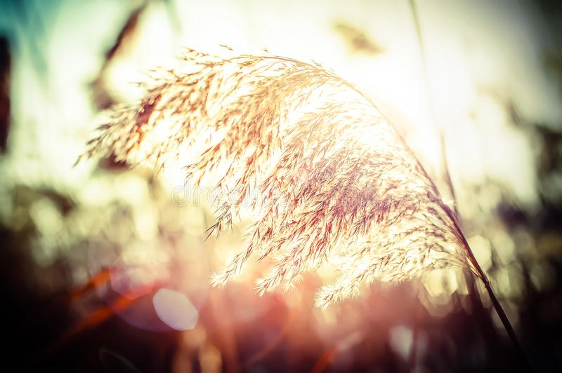 Amazing winter day at sunset. Sun rays shining through dry reed grasses stock images