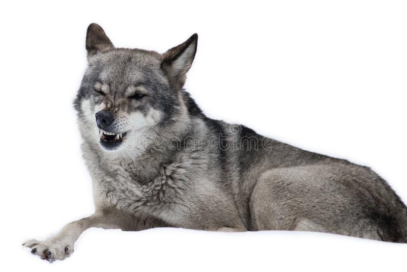 Amazing Wolf blinked isolated. Funny Amazing Wolf blinked isolated on white stock images