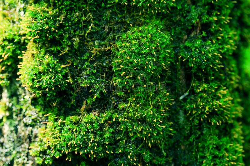 Amazing wooden moss texture of tree in the forest. Fresh green moss after raining. Sunshine day. Feel fresh. Beautiful natural background. Wood textured royalty free stock photography