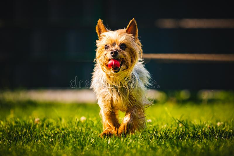 An amazing Yorkshire Terrier is having fun running towards camera. stock photography