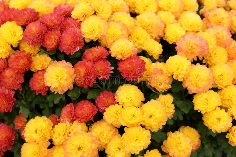 Amazingly beautiful background image of Fall flowers in orange and yellow colors in Autumn garden stock image