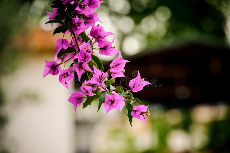Amazingly beautiful branch of bright violet flowers. On the blurred background of a domestic yard royalty free stock images