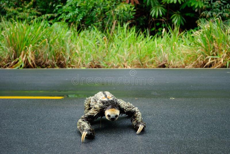 Amazon animal - sloth. Sloth crossing the road. Itapiranga city, Amazon Estate, Brazil royalty free stock images