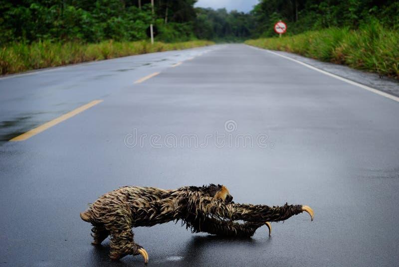 Amazon animal - sloth. Sloth crossing the road. Itapiranga city, Amazon Estate, Brazil royalty free stock image