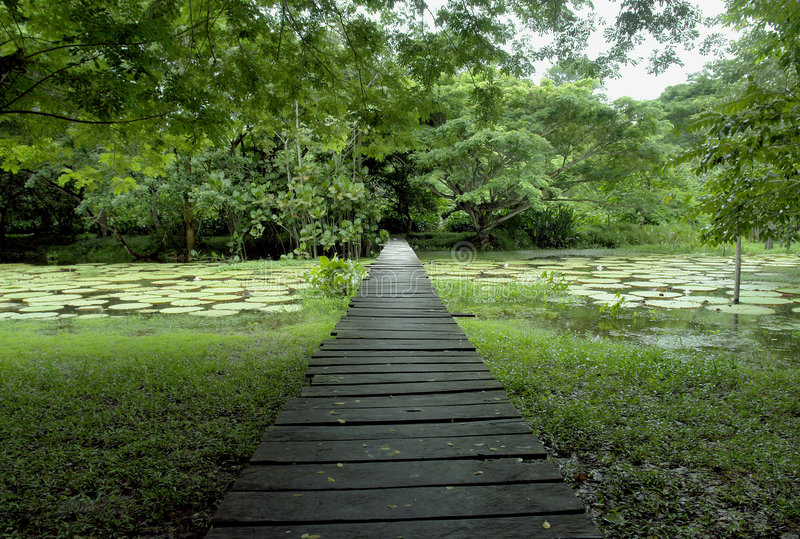Amazon forest wood bridge stock image