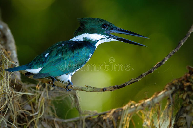 Amazon Kingfisher, Chloroceryle amazona. Green and white kingfisher bird sitting on the branch. Kingfisher in the nature habitat stock photo