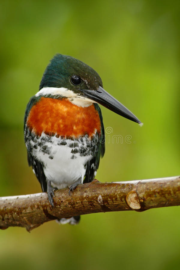 Amazon Kingfisher, Chloroceryle amazona, portrait of green and orange nice bird, Cano Negro, Costa Rica royalty free stock image