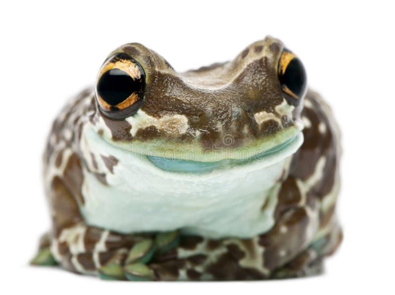 Amazon Milk Frog, Trachycephalus resinifictrix royalty free stock photo