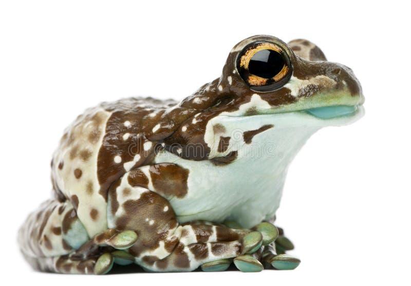 Amazon Milk Frog, Trachycephalus resinifictrix stock images