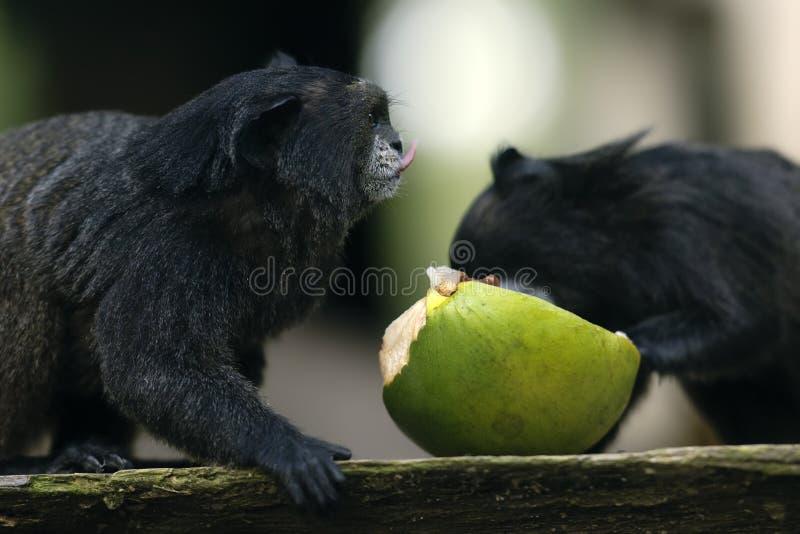 Download Amazon Monkey stock image. Image of natural, mammal, jungle - 17875373