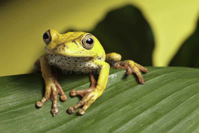 amazon płazi żaby dżungli liść drzewo dziki obrazy royalty free