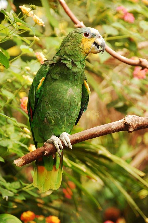 Amazon parrot stock photos