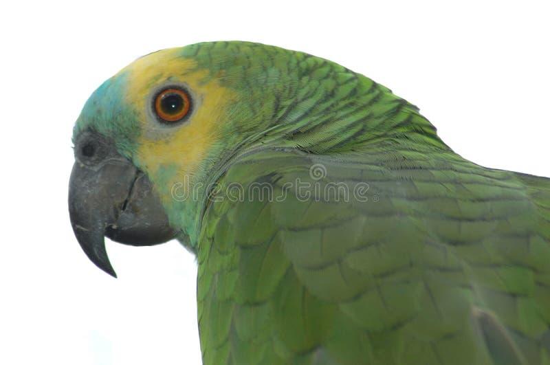 Amazon parrot stock photography