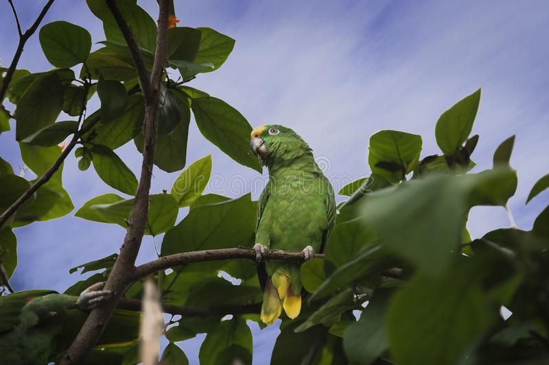 Amazon parrot in a tree royalty free stock photos